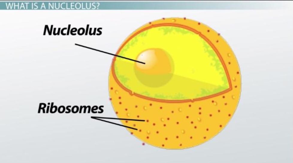 What is a Nucleolus Function?
